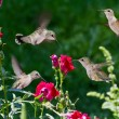 Stock Photo: Humming birds