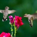 Humming birds — Stock Photo