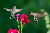 Humming birds — Stock Photo