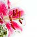 Purple lily — Stock Photo #31384681