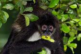 Spider monkey — Foto Stock