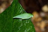 绿色蚱蜢 — 图库照片