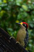 Black - cheeked Woodpecker — 图库照片