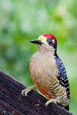 Black - cheeked Woodpecker — Stock Photo
