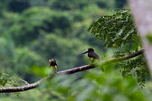 Aracari, Toucan — Stock Photo