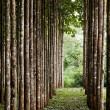 Stock Photo: Teak plantation