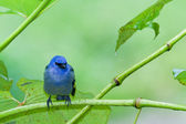 Blue tanager — Stock Photo