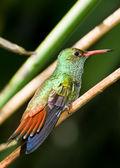 Rufous tailed hummingbird — Stock Photo
