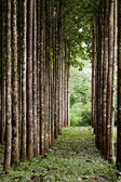 Teak plantation — Stock Photo