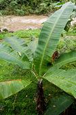 Banaan plant — Stockfoto