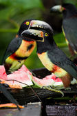 Aracari tucan — Foto Stock