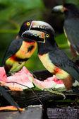 Aracari Tucan — Stockfoto