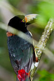 Aracari Tucan — Photo