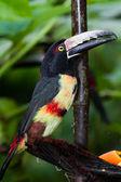 Aracari Tucan — Stok fotoğraf
