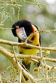 Aracari toucan — Stockfoto