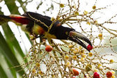 Aracari Toucan — Stock Photo