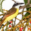 Great Kiskadee — Stock Photo