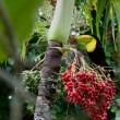 ������, ������: Keel billed toucan