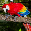 Scarlet macaw — Stock Photo #37348363