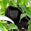 Howler monkey — Stock Photo