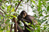 Spider monkey — Stock Photo