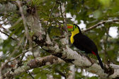 Keel billed toucan — Stock Photo