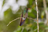 Rufous humming bird — Stock Photo