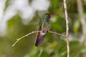 Rufous humming bird — Stock Photo