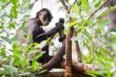 Mono araña — Foto de Stock