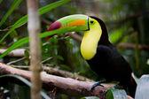Keel billed toucan — Stock Photo