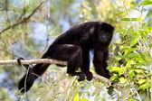 обезьяна howler — Стоковое фото