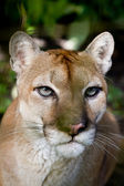 Cougar close up — Stock Photo