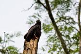 Crane hawlk in belize — Stock Photo