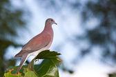 Tropical dove — Stock Photo