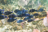 Tropical fish in Belize — Stock Photo