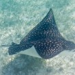 Stock Photo: Sting ray