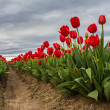 Vivid red tulips — Stock Photo #44625797