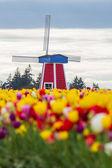 Windmill in a tulip farm — Stock Photo