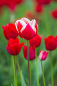 Vivid colorful tulips — Stock Photo