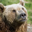 Brown bear - ursus arctos — Stock Photo