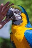 Blue and Gold Macaw- Ara ararauna — Stock Photo
