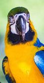 Синий и Золотой Ара ara ararauna — Стоковое фото