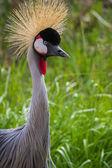 áfrica oriental coronada grúa — Foto de Stock