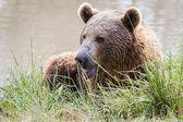 Brown bear - ursus arctos — Stock Photo