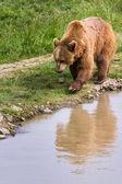 Brown Bear - Ursus arctos — Stockfoto