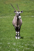 Gemsbok (Oryx)- Oryx gazella — Stock Photo