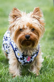 Yorki portrait — Stock Photo