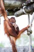 Orangutang - pongo pygmaeus — Stockfoto