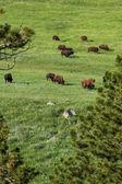 Biso herd — Stock Photo