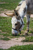 Farm donkey — Stock Photo